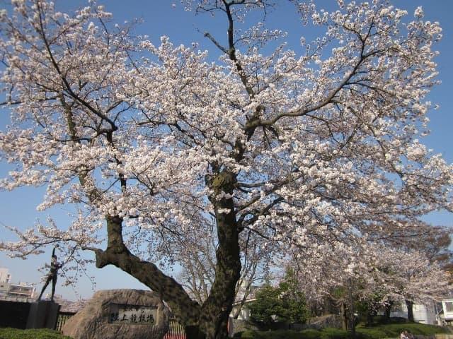 桜お花見無料開放